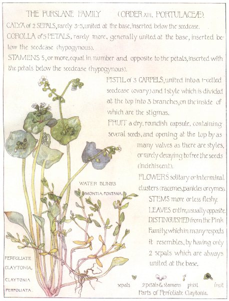 Associate Product FLOWERS. Purslane family. Portulaceae. Water Blinks 1907 old antique print