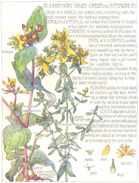 Associate Product ST JOHN'S WORT. Hypericineae. Tutsan; Common, Marsh St.John's-Wort 1907 print