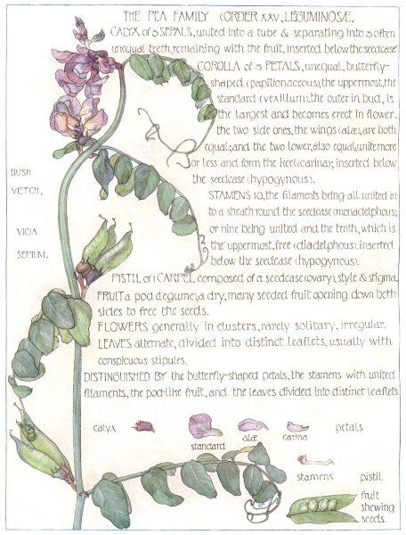 Associate Product FLOWERS. pea family Leguminosae. Bush Vetch 1907 old antique print picture