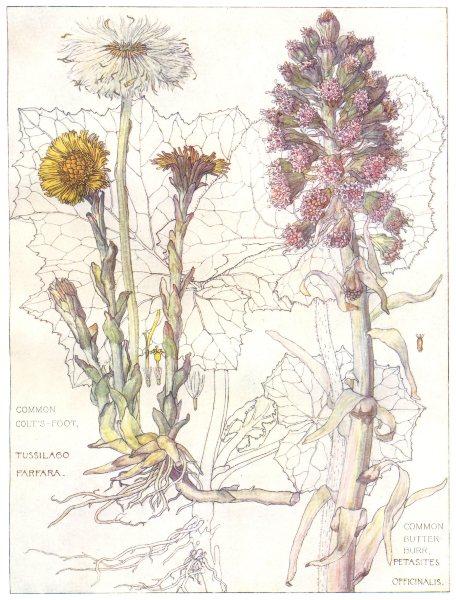 Associate Product FLOWERS. Daisy family. Compositae. Common Colt's-Foot; Common Butter-Burr 1907