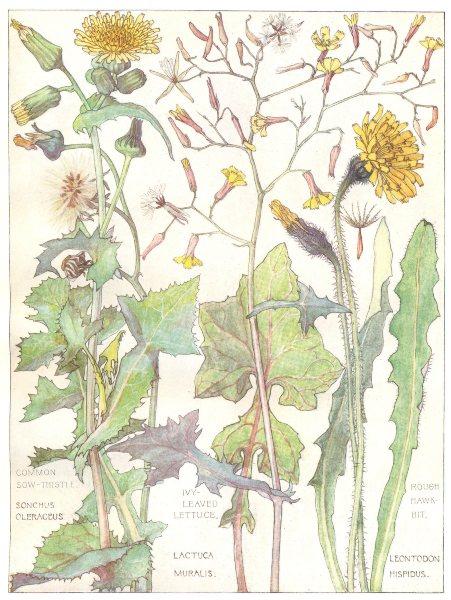 Associate Product DAISIES. Compositae. Common Sow-Thistle; Ivy-Leaved Lettuce; Rough Hawkbit 1907