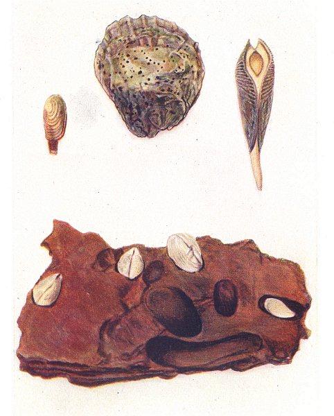 BORING MOLLUSCS SPONGE.Saxicava rugosa;Oyster,Clione.Piddock.Red Sandstone 1936