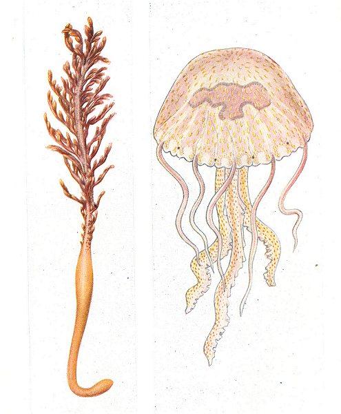 Associate Product FISH. Pennatula phosphorea. Luminous Sea Pen; Pelagia noctiluca. Jellyfish 1936