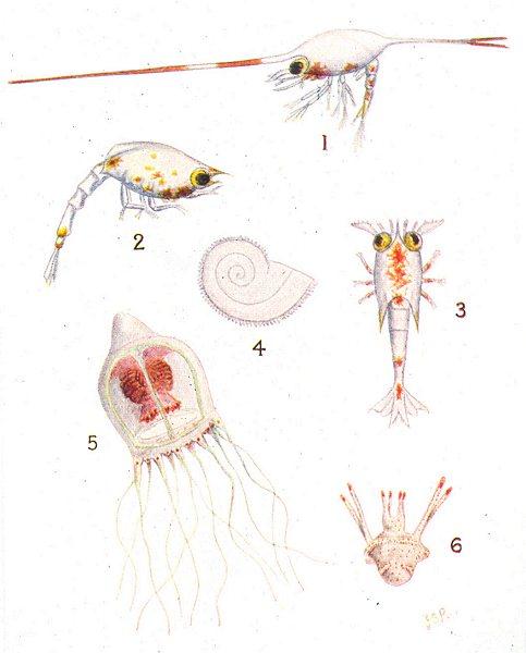 Associate Product FISH. Larva Plankton; Porcelain Crab Hermit Squat- Lobster; Mollusc; medusa 1936