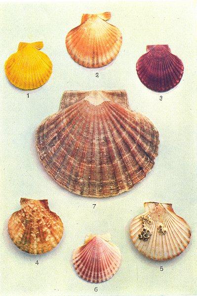 Associate Product OYSTERS.Spat Native Oyster Scallop shell(Ostrea edulis)Portuguese(angulata) 1936