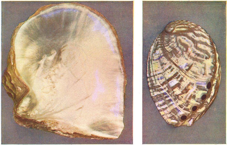 Associate Product MOLLUSCS. Pearl Oyster (Margaritifera) ; Ormer (Haliotis tuberculata)  1936
