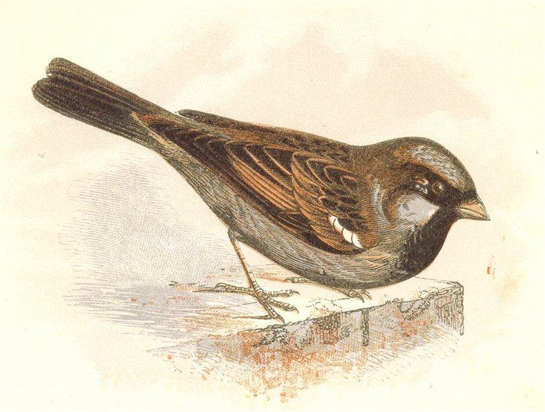 BIRDS. Songbirds . Sparrow (Anne Pratt, SPCK) 1857 old antique print picture