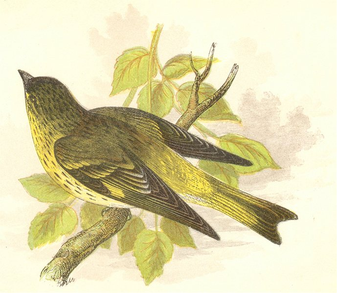 Associate Product BIRDS. Songbirds . Siskin (Anne Pratt, SPCK) 1857 old antique print picture