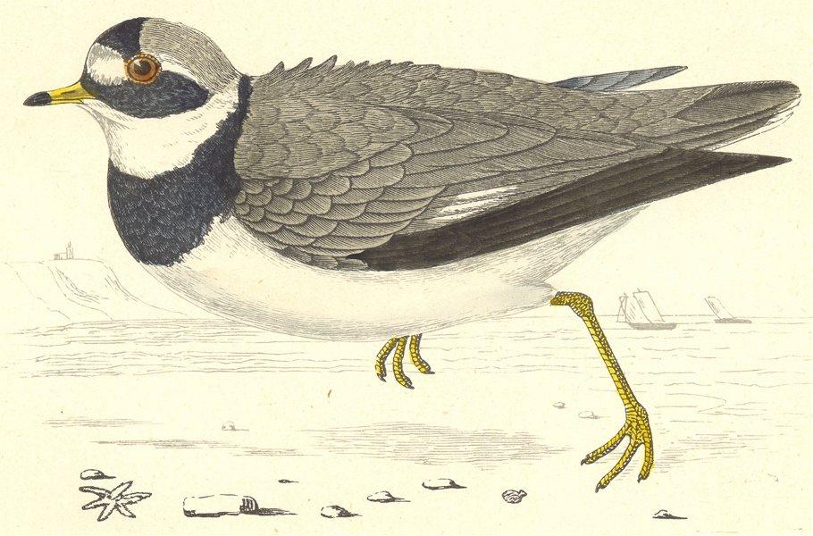 Associate Product BIRDS. Ringed Dotterel (Morris) 1880 old antique vintage print picture