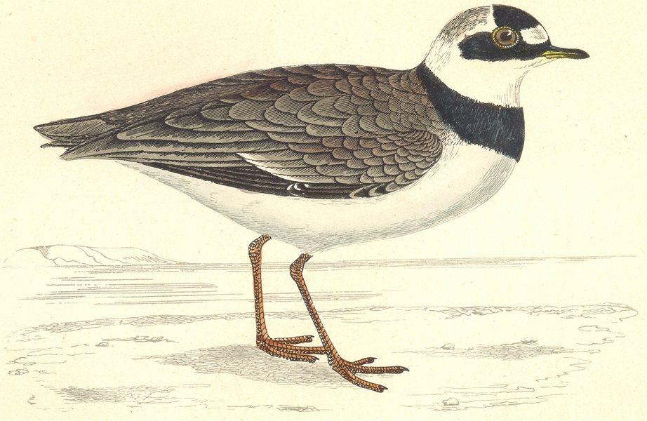 BIRDS. Little Ringed Dotterel (Morris) 1880 old antique vintage print picture