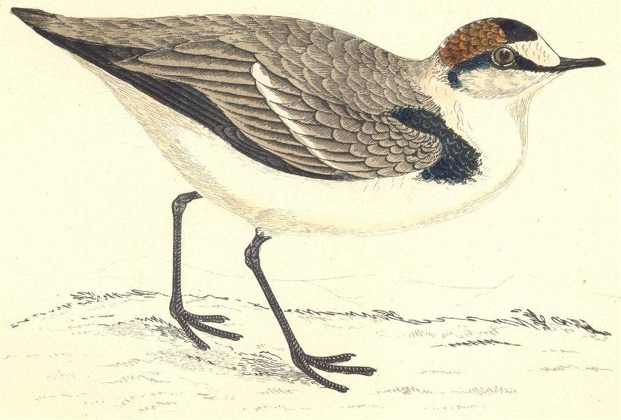 Associate Product BIRDS. Kentish Dotterel (Morris) 1880 old antique vintage print picture