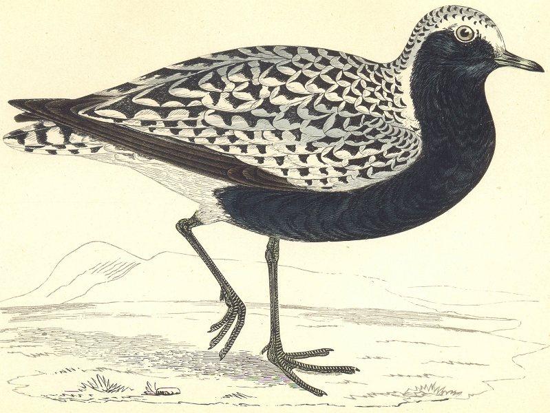 Associate Product BIRDS. Grey Plover (Morris) 1880 old antique vintage print picture