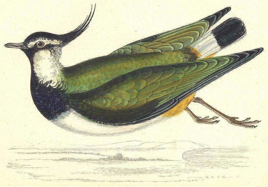 Associate Product BIRDS. Peewit (Morris) 1880 old antique vintage print picture