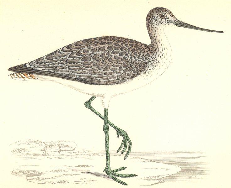 Associate Product BIRDS. Greenshank (Morris) 1880 old antique vintage print picture