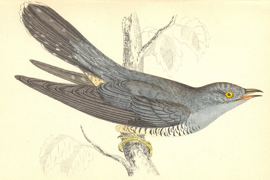 Associate Product BIRDS. Cuckoo (Morris) 1880 old antique vintage print picture