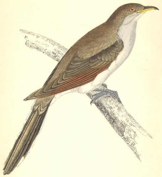 Associate Product BIRDS. Yellow- Billed Cuckoo (Morris) 1880 old antique vintage print picture