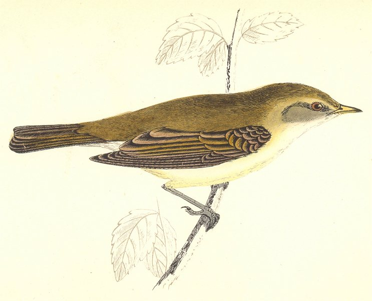 Associate Product BIRDS. Chiff Chaff (Morris) 1880 old antique vintage print picture