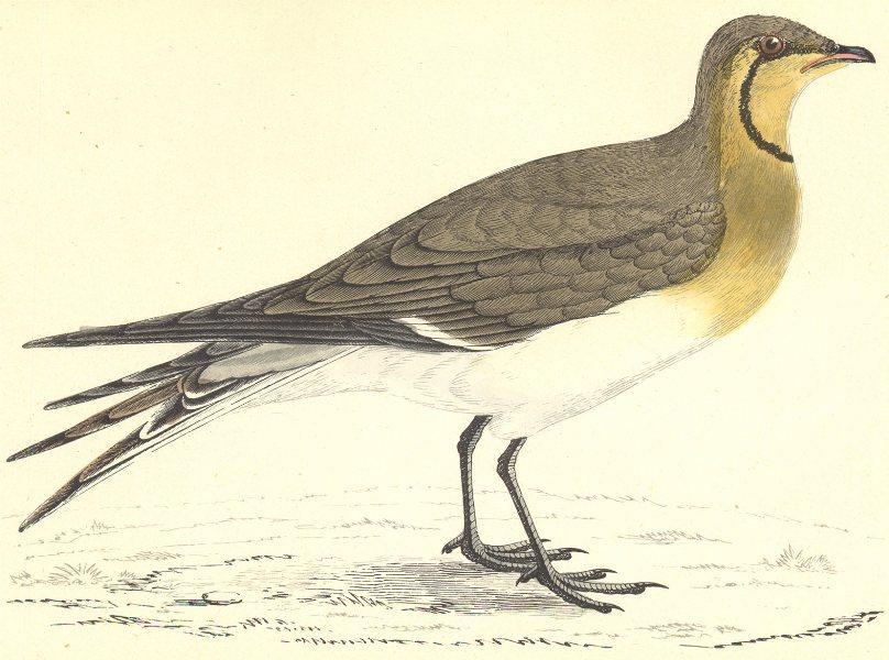 Associate Product BIRDS. Pratincole (Morris) 1880 old antique vintage print picture
