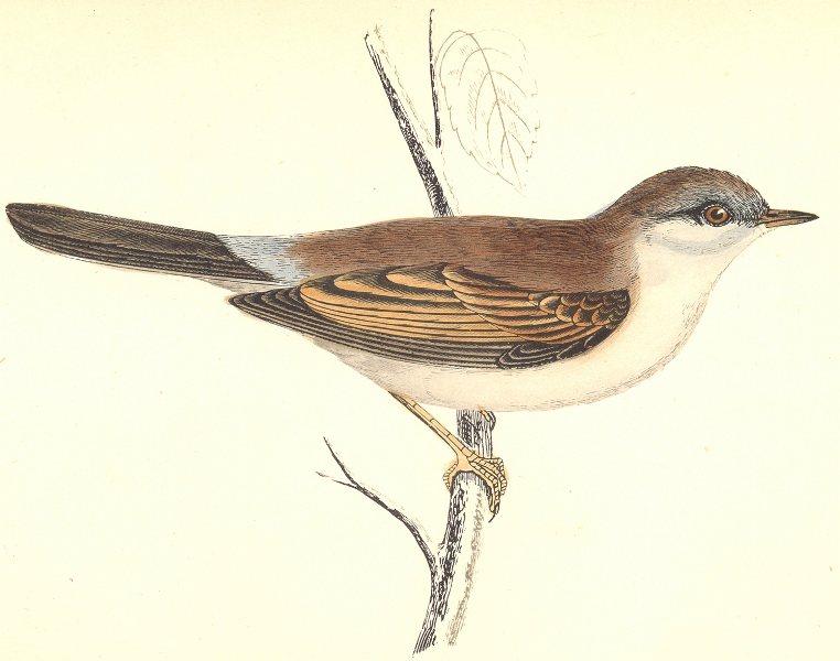 BIRDS. Whitethroat (Morris) 1880 old antique vintage print picture