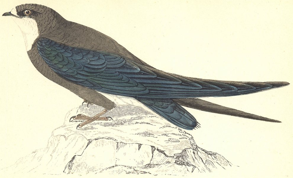 Associate Product BIRDS. Spine- Tailed Swallow (Morris) 1880 old antique vintage print picture