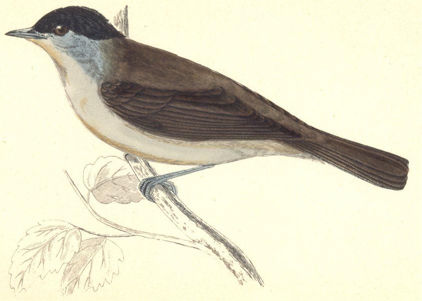 Associate Product BIRDS. Blackcap (Morris) 1880 old antique vintage print picture