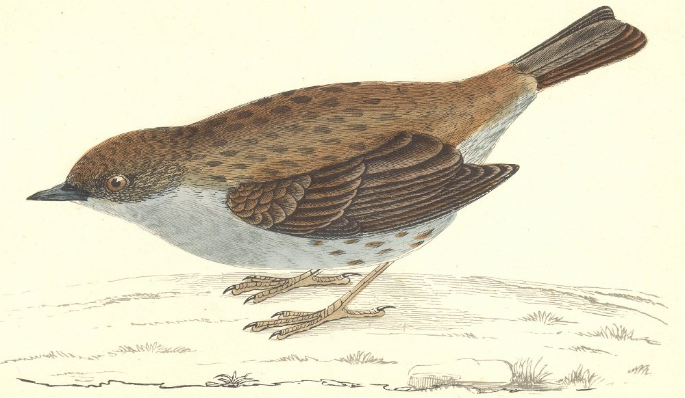 BIRDS. Dunnock (Morris) 1880 old antique vintage print picture