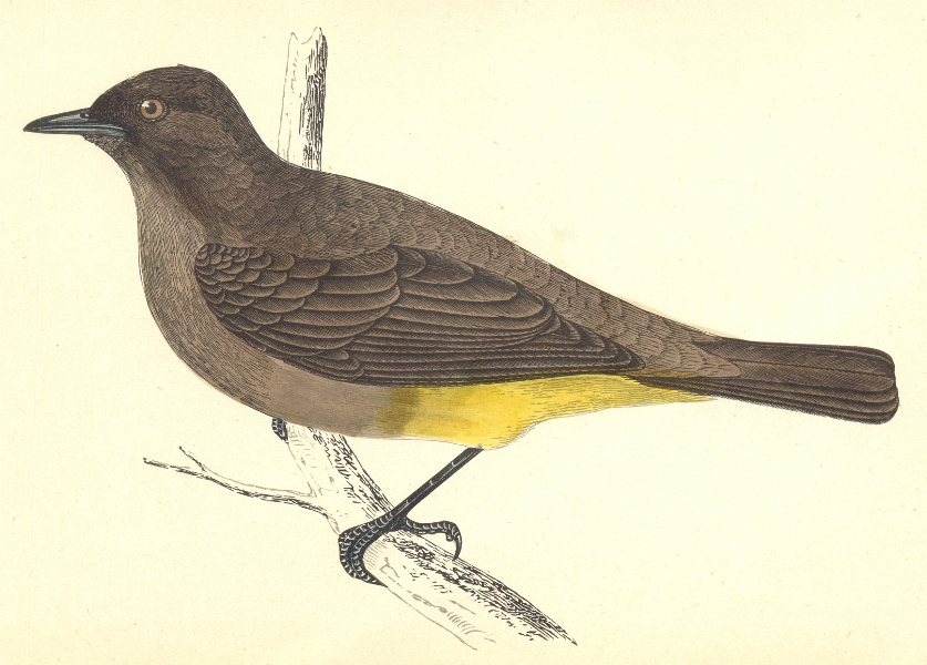 Associate Product BIRDS. Gold- Vented Thrush (Morris) 1880 antique vintage print picture