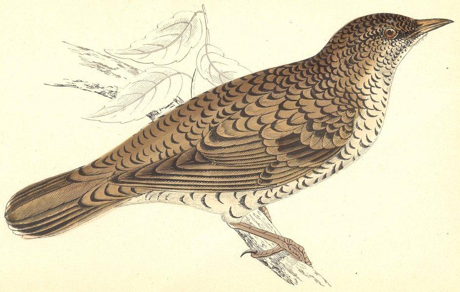 Associate Product BIRDS. White's Thrush (Morris) 1880 old antique vintage print picture