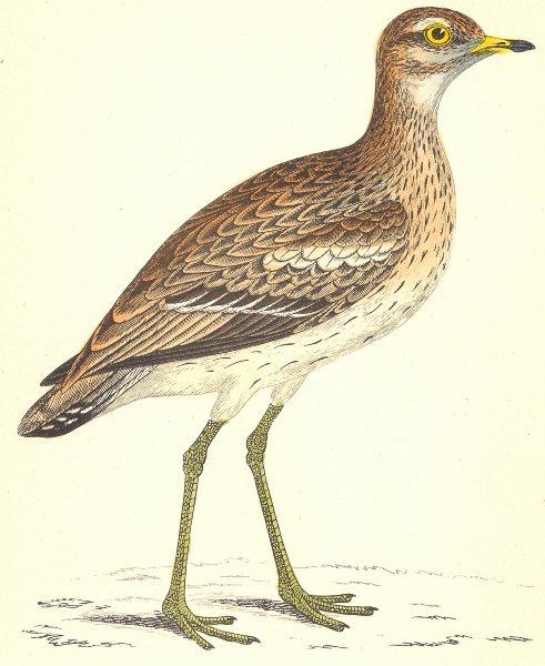 Associate Product BIRDS. Great Plover (Morris) 1880 old antique vintage print picture