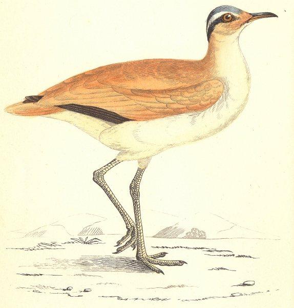 Associate Product BIRDS. Courser (Morris) 1880 old antique vintage print picture