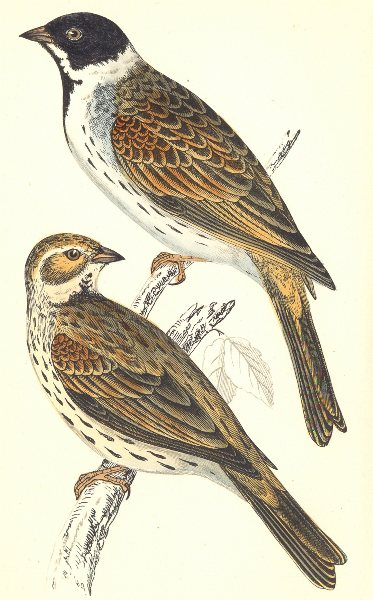 Associate Product BIRDS. Black- Headed Bunting (Morris) 1880 old antique vintage print picture