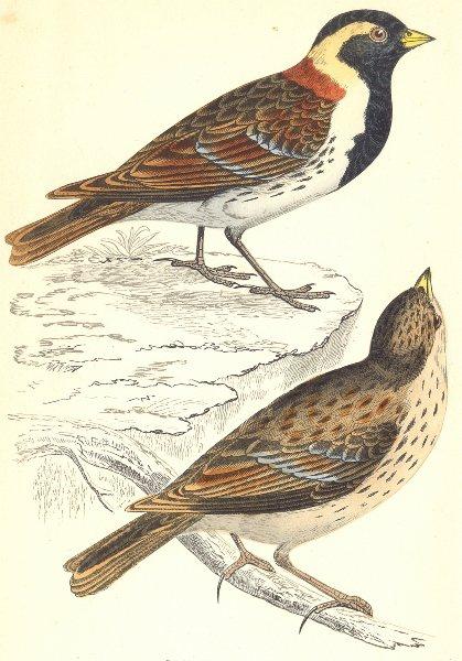 Associate Product BIRDS. Lapland Bunting (Morris) 1880 old antique vintage print picture