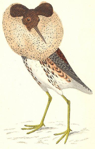 BIRDS. Ruff (Morris) 1880 old antique vintage print picture