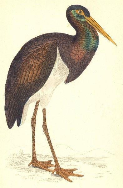 Associate Product BIRDS. Black Stork (Morris) 1880 old antique vintage print picture