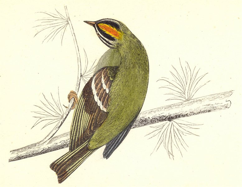 Associate Product BIRDS. Firecrest (Morris) 1880 old antique vintage print picture
