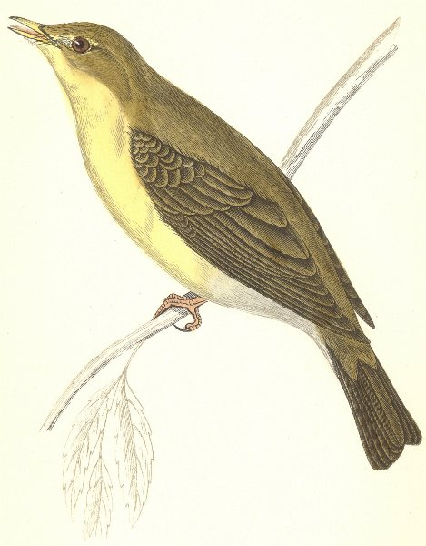 Associate Product BIRDS. Melodious Willow Warbler (Morris) 1880 old antique print picture