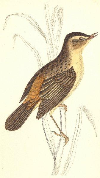 Associate Product BIRDS. Sedge Warbler (Morris) 1880 old antique vintage print picture