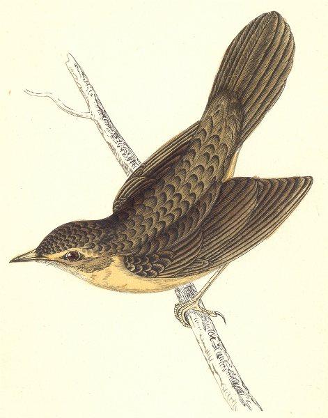 Associate Product BIRDS. Grasshopper Warbler (Morris) 1880 old antique vintage print picture