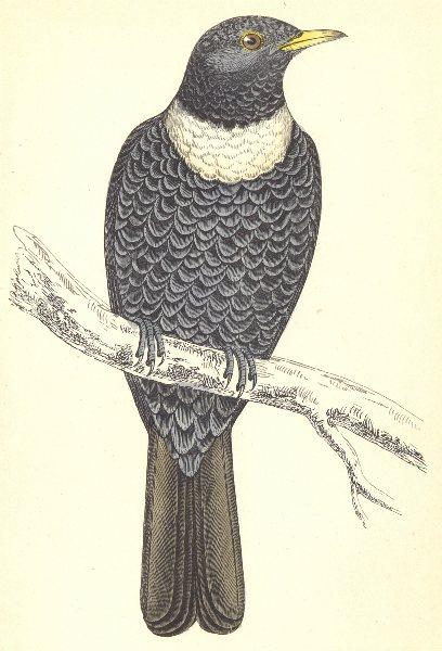 Associate Product BIRDS. Ouzel (Morris) 1880 old antique vintage print picture