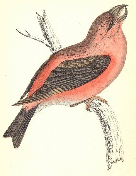 BIRDS. Parrot Crossbill (Morris) 1880 old antique vintage print picture