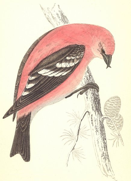 Associate Product BIRDS. American White- Winged Crossbill (Morris) 1880 old antique print