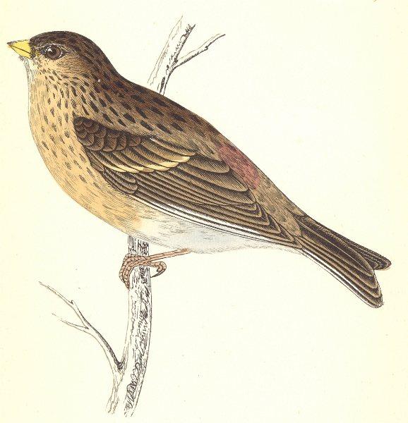 Associate Product BIRDS. Twite (Morris) 1880 old antique vintage print picture
