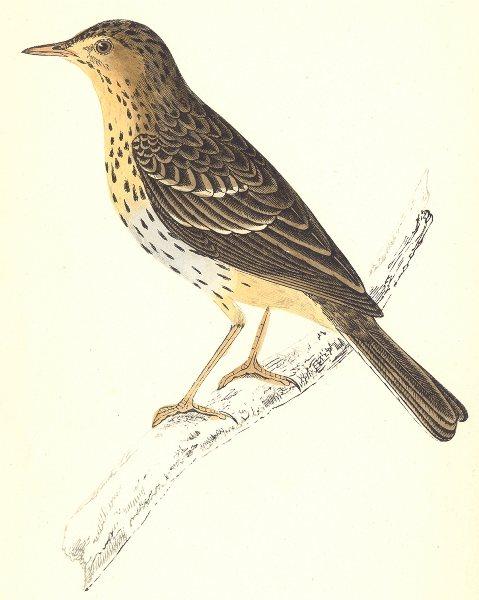 Associate Product BIRDS. Tree Pipit (Morris) 1880 old antique vintage print picture