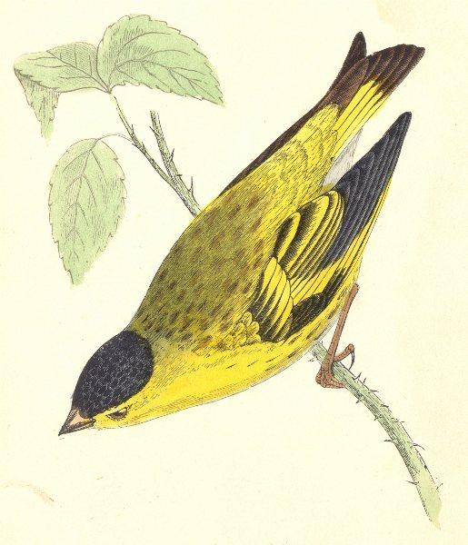 Associate Product BIRDS. Siskin (Morris) 1895 old antique vintage print picture