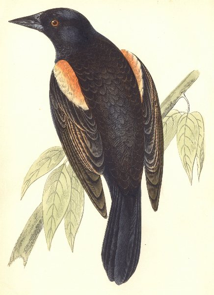BIRDS. Red- Winged Starling (Morris) 1895 old antique vintage print picture