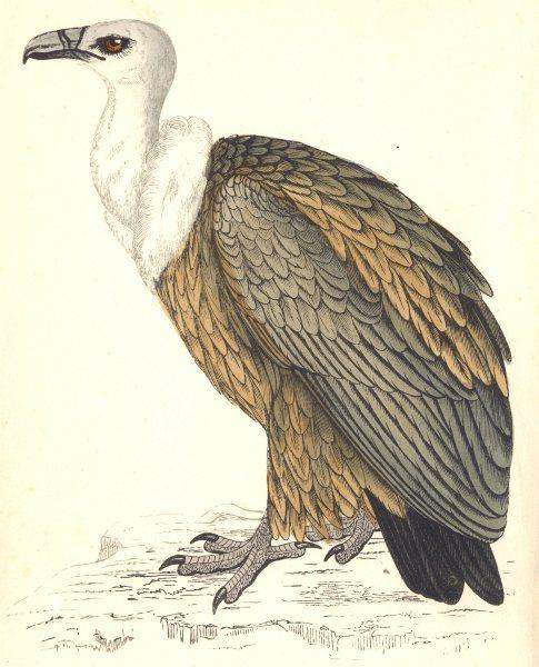 Associate Product BIRDS. Griffon Vulture (Morris) 1880 old antique vintage print picture