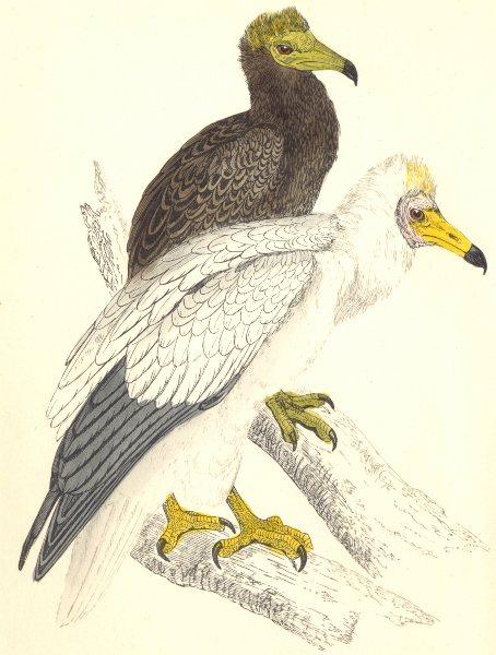 Associate Product BIRDS. Egyptian Vulture (Morris) 1880 old antique vintage print picture