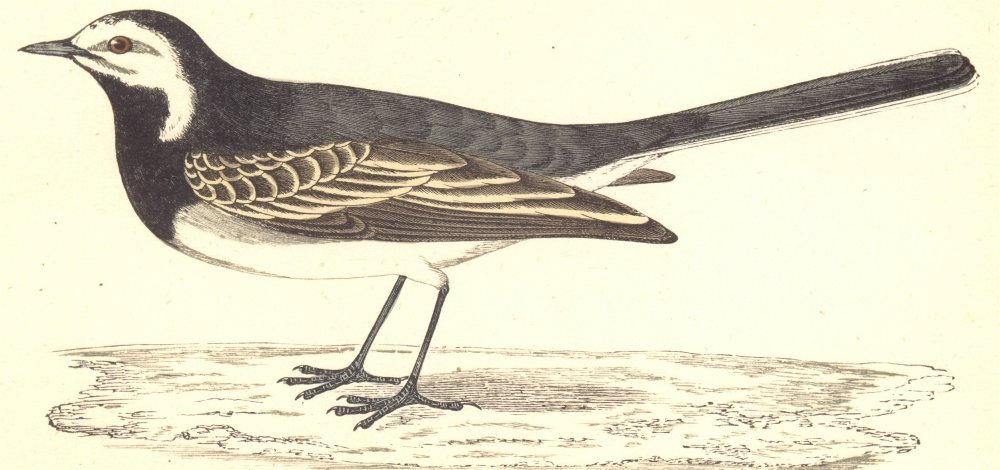 Associate Product BIRDS. Pied Wagtail (Morris) 1880 old antique vintage print picture
