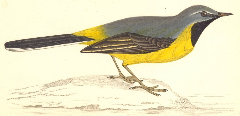 Associate Product BIRDS. Grey Wagtail (Morris) 1880 old antique vintage print picture