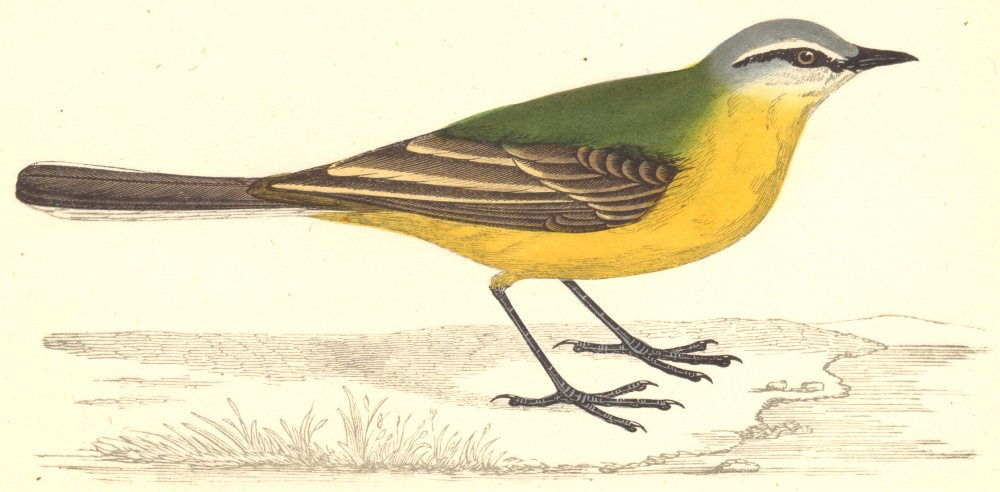 Associate Product BIRDS. Grey- Headed Wagtail (Morris) 1880 old antique vintage print picture